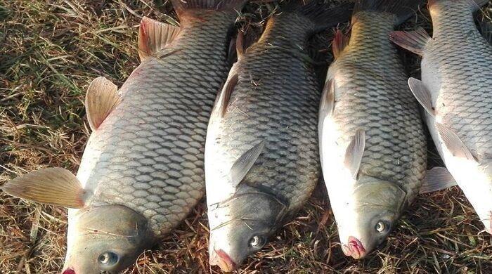 خبرنگاران انگل و ویروس عامل مرگ ماهیان کپور سد گلابر ایجرود
