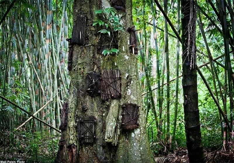 رسم عجیب یک قبیله در اندونزی برای تدفین نوزادان مرده در تنه درختان