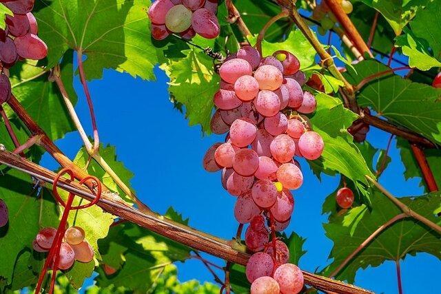 استارتاپ انگور در خراسان شمالی برگزار می گردد