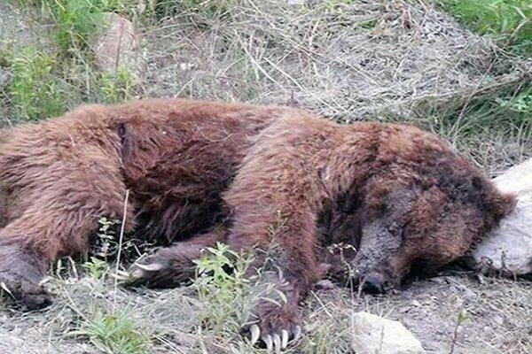 شناسایی شکارچیان خرس قهوه ای در دنا