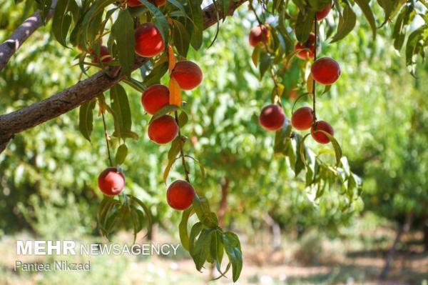 محلول افزایش ماندگاری میوه تا دو برابر تولید شد